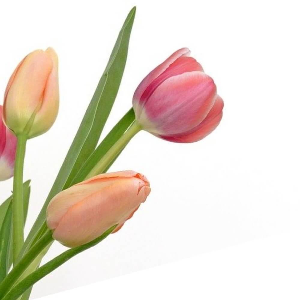 Tulipanes x 3 en caja