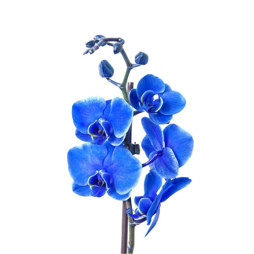 Orquídea bebé